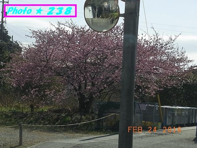 川津桜②?