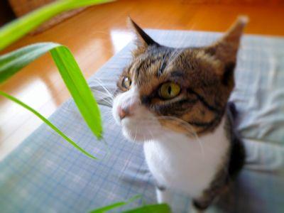 猫草食べたい?