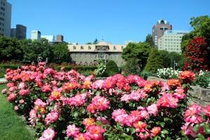 晴れた薔薇園