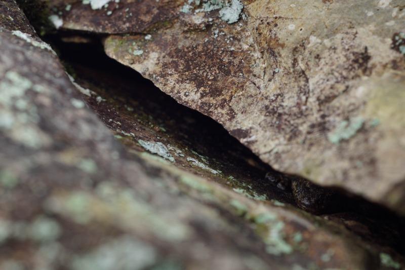 タワヤモリ Gekko tawaensis