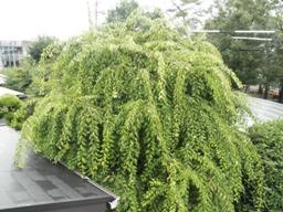 夏の枝垂れ梅