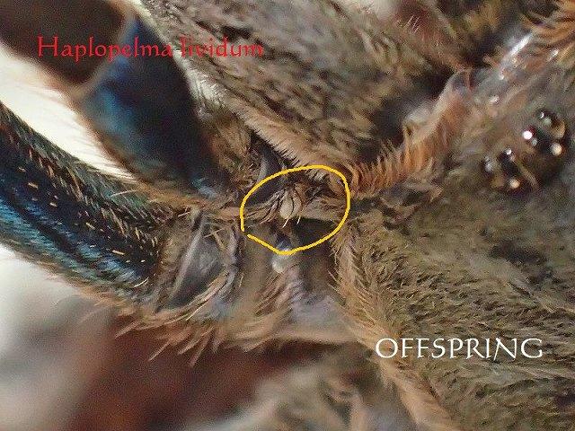 Haplopelma lividum2015wcthai02