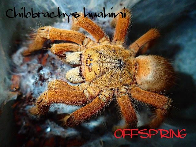 Chilobrachys huahini2012wc01