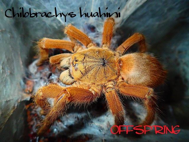 Chilobrachys huahini2012wc02