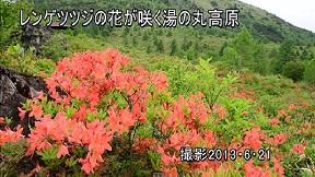 レンゲツツジの花が咲く湯の丸高原