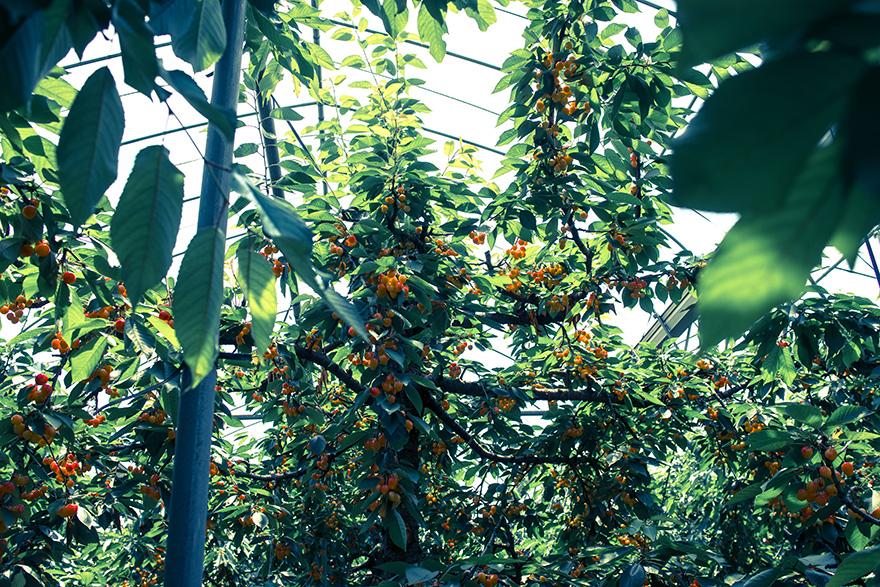 cherry2015-1.jpg