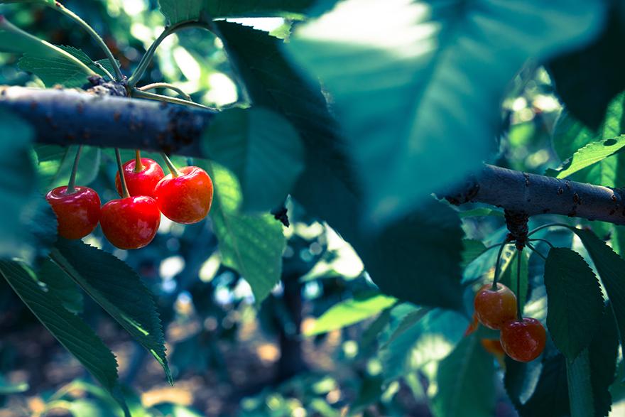 cherry2015-2.jpg