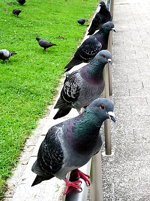 久屋大通公園の鳩