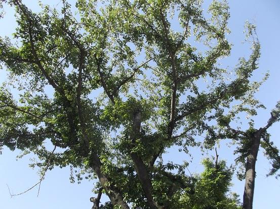 樹1009