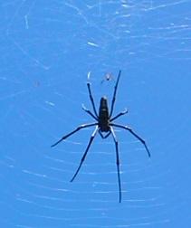 デッカイ蜘蛛さん