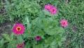 20150609ピンク花