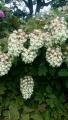 20150609白の花