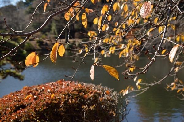 12月-4輝く紅葉と新芽yamanaka_01