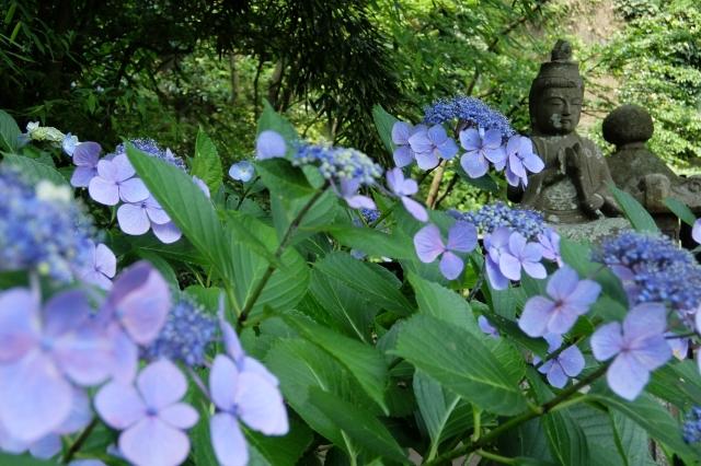 つかちゃん紫陽花―3