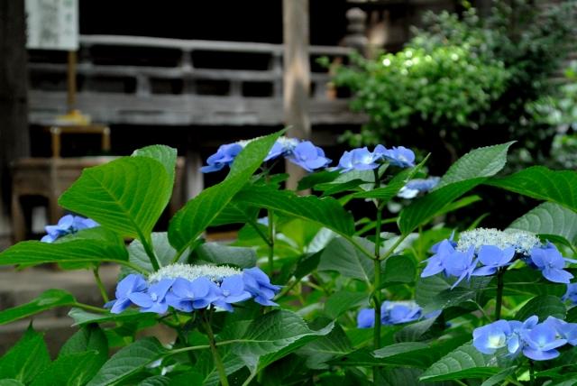 つかちゃん紫陽花-1