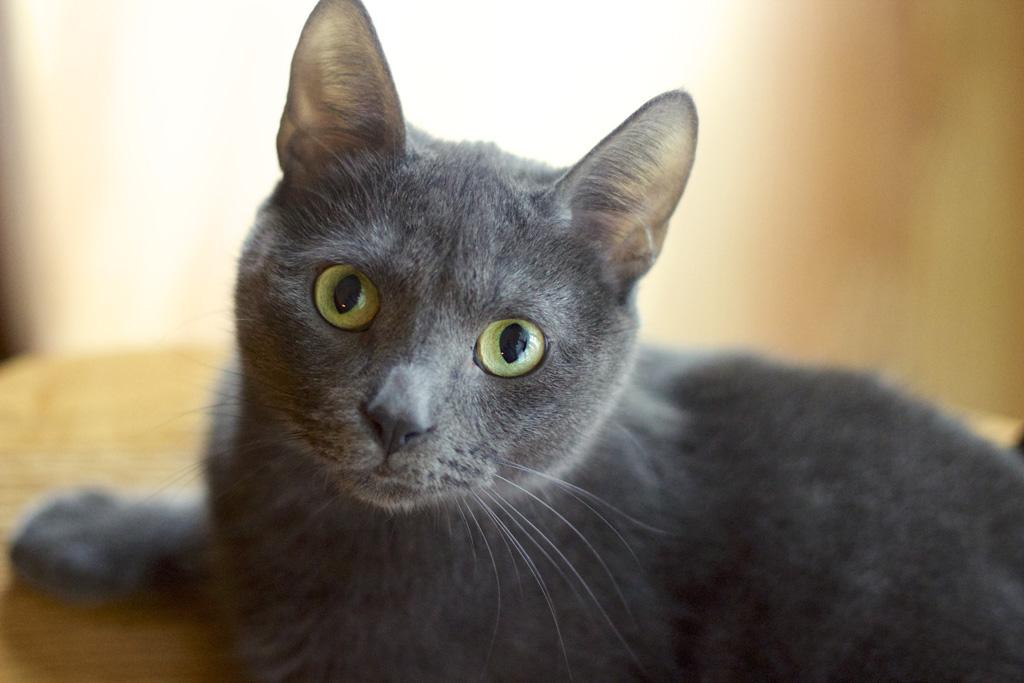 ロシアンブルーの猫