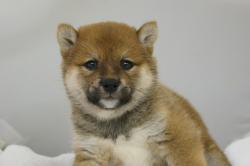 宮城仙台ペットショップ/まめしばサイズの柴犬