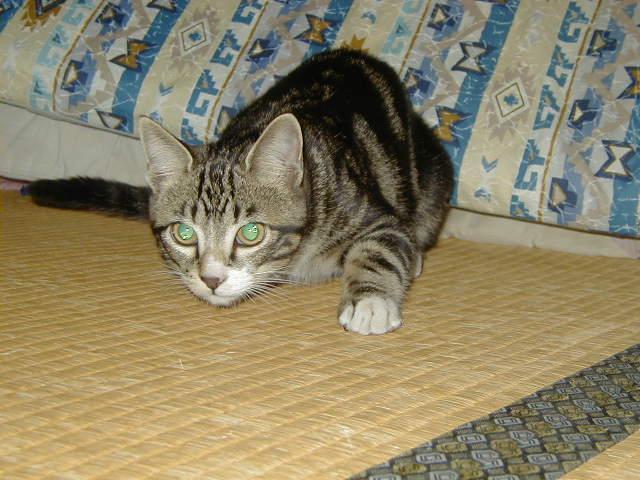 青い目キラリ 畳の猫