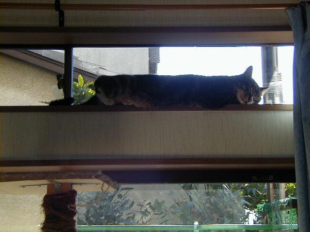 やたらまっすぐな猫 ピッコロ