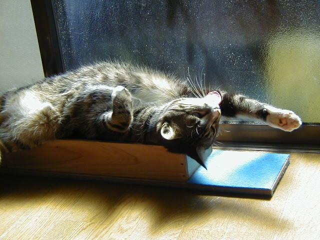 大あくびして伸びをする猫 ピッコロ