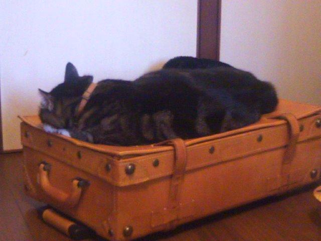 キャリーケースとピッコロ 大きな猫1