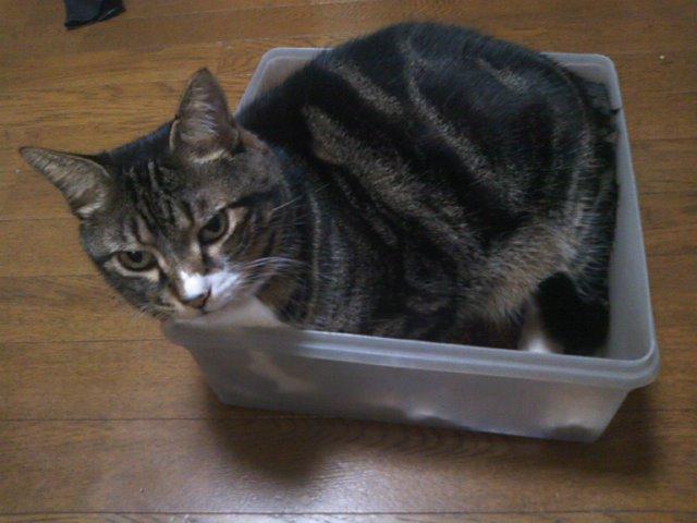 箱に入りきれてない猫 ピッコロ
