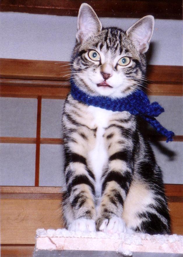 渋いおじさん子猫 ピッコロ