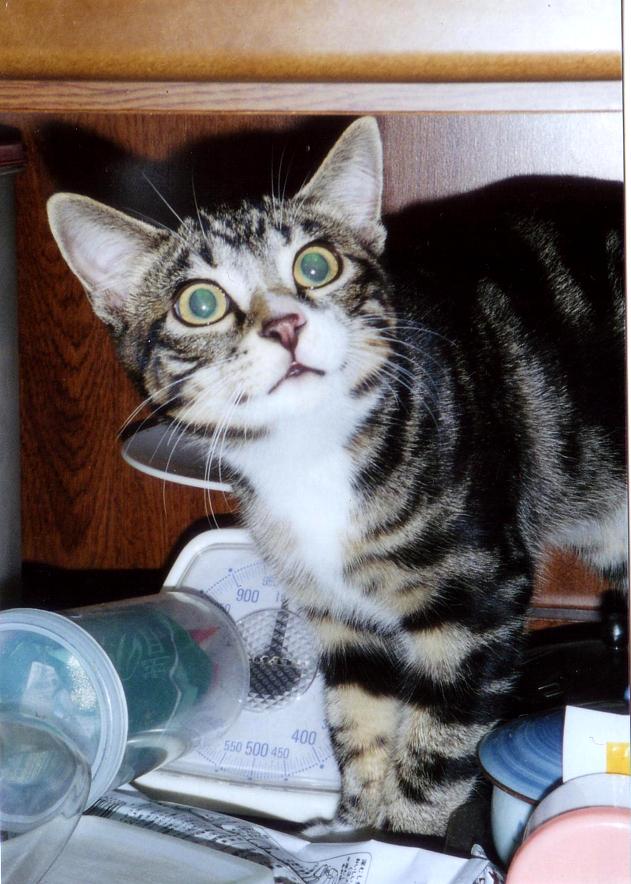 青い、エメラルドグリーンの瞳の美しい猫 ピッコロ