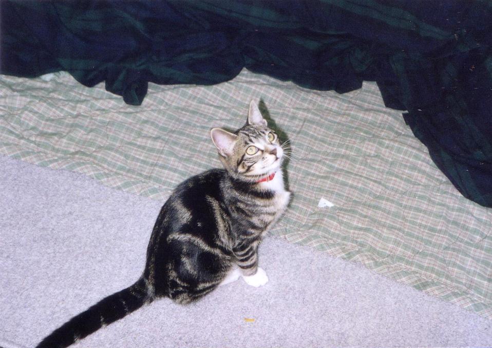 赤い首輪をつけた子猫 見上げる可愛いピッコロ2