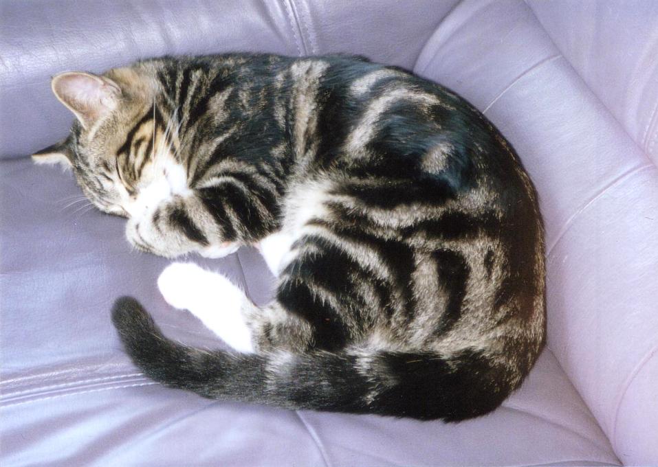いい夢見てる猫 ピッコロ