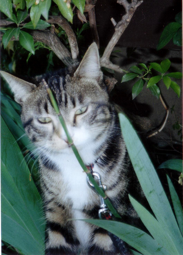 化け猫みたいなピッコロ