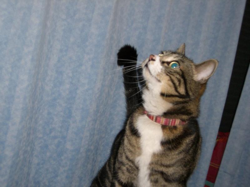青 エメラルドグリーンの瞳 猫 ピッコロの首輪