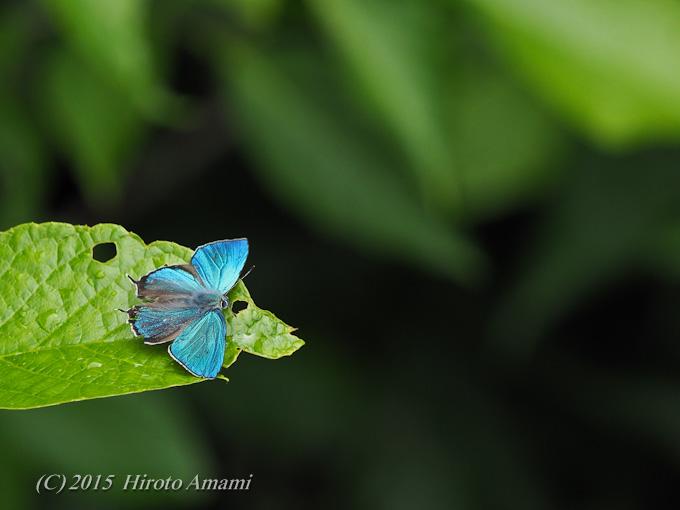 ジョウザンミドリシジミ:澄んだ青色に魅せられて