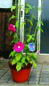 P7080023初めての朝顔開花
