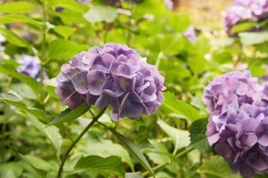 アジサイ紫色