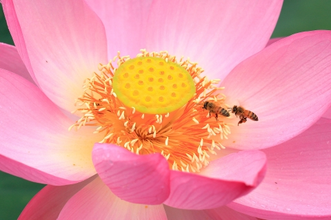 ミツバチのランデブー
