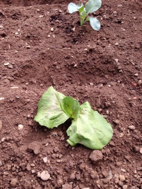 lettus0804①