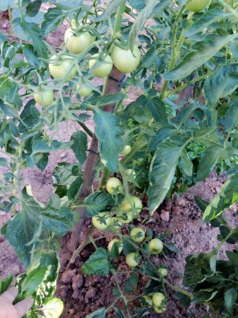 tomato0803①