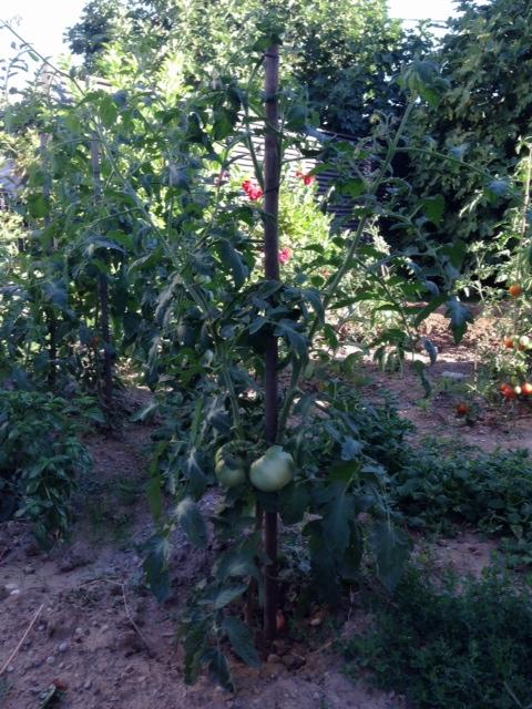 tomato0803③