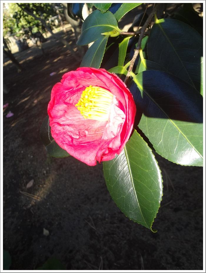 氷室椿庭園DSC05205