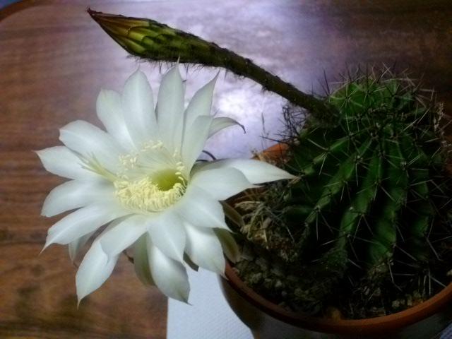 サボテン花と蕾