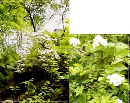 NYの庭に咲いた野ばら