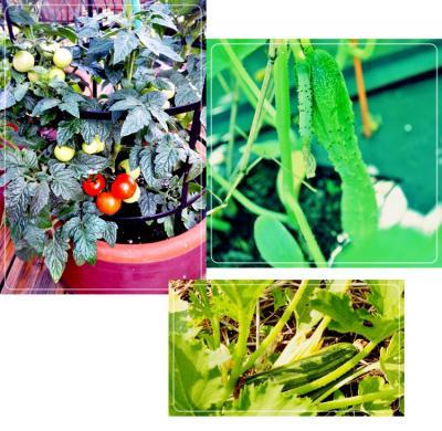 テラスガーディンの野菜