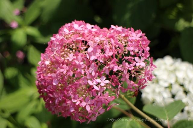 紫陽花 アナベル
