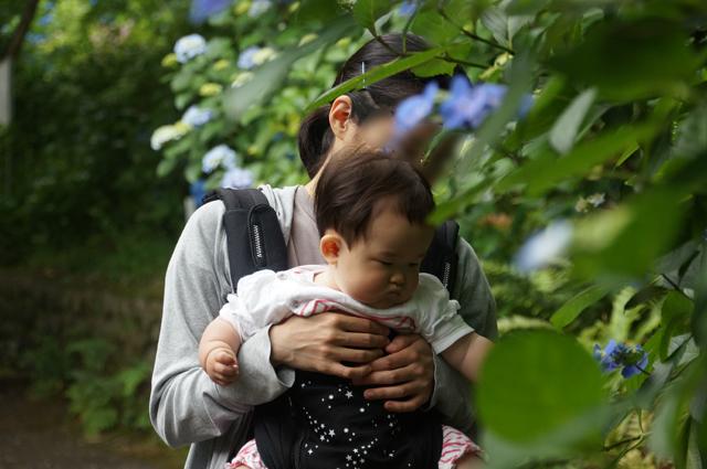 紫陽花と親子