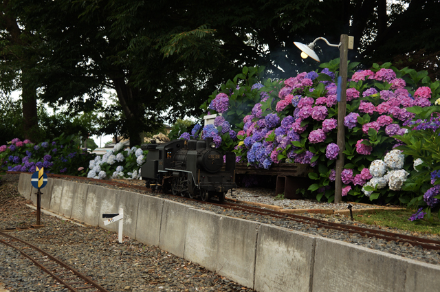 とある駅の紫陽花をバックにして C56129