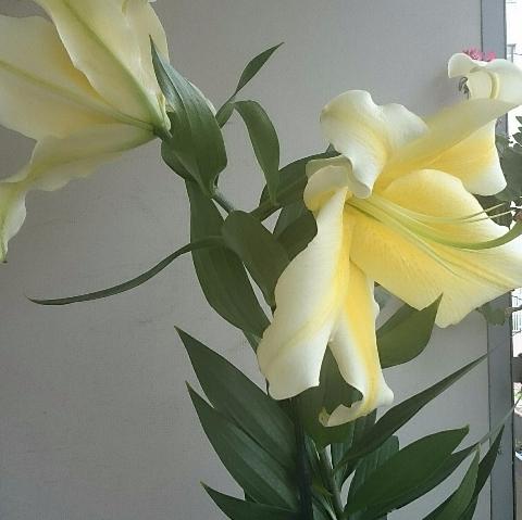 黄色/カサブランカ