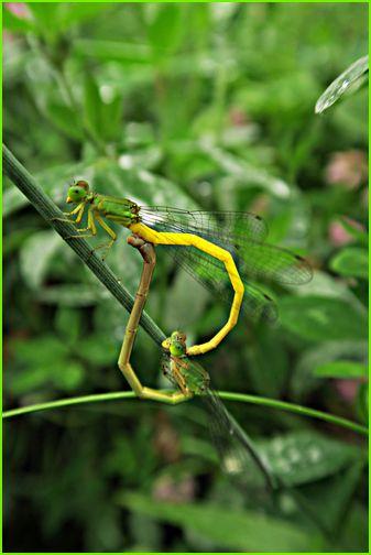 黄色のトンボ交尾