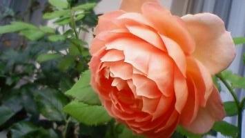 ジュビリー二番花