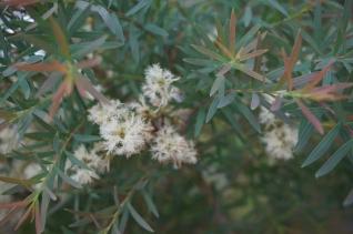 メラレウカ・アルミラリスの花32